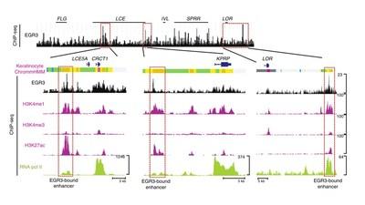 Epigenetic regulation of EGR3 through enhancer RNA (Fig. 4e)