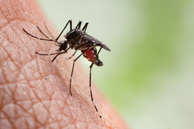 Aside from biting humans, the pest is infamous for transmitting West Nile virus, among other diseases such as Eastern Equine Encephalitis and Zika.